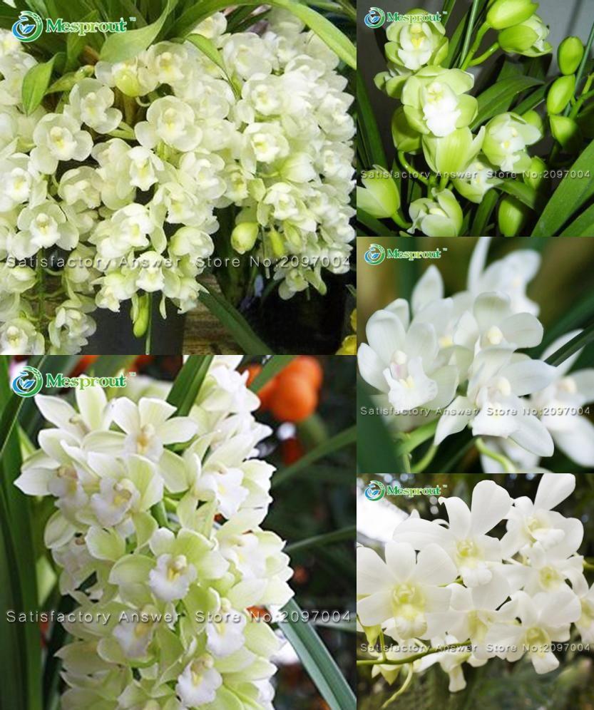 Visit to buy white cymbidium seeds garden terrace orchid bonsai