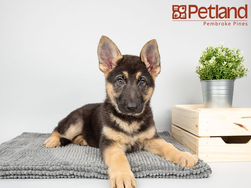 German Shepherd Puppies For Sale In South Florida Ideas