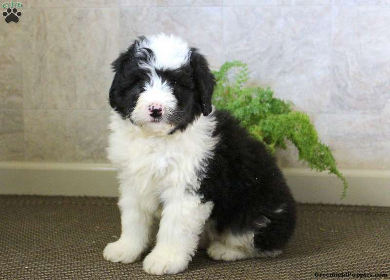 Tucker - Sheepadoodle Puppy For Sale in Pennsylvania | Sheepadoodle