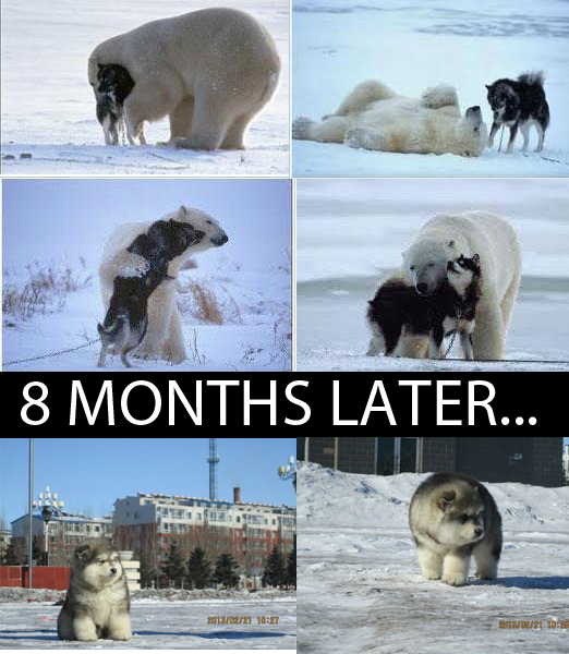 What happens when you cross a polar bear and a husky?