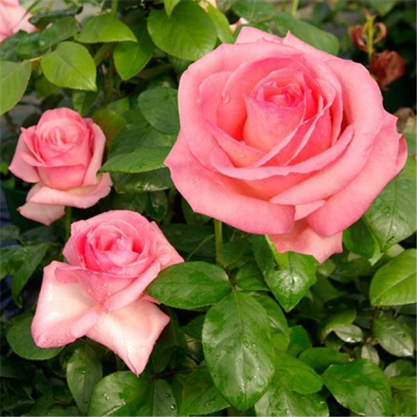 Rosiers grandes fleurs tuinieren pinterest rosier normandie et grandes fleurs - Dessin de rosier ...