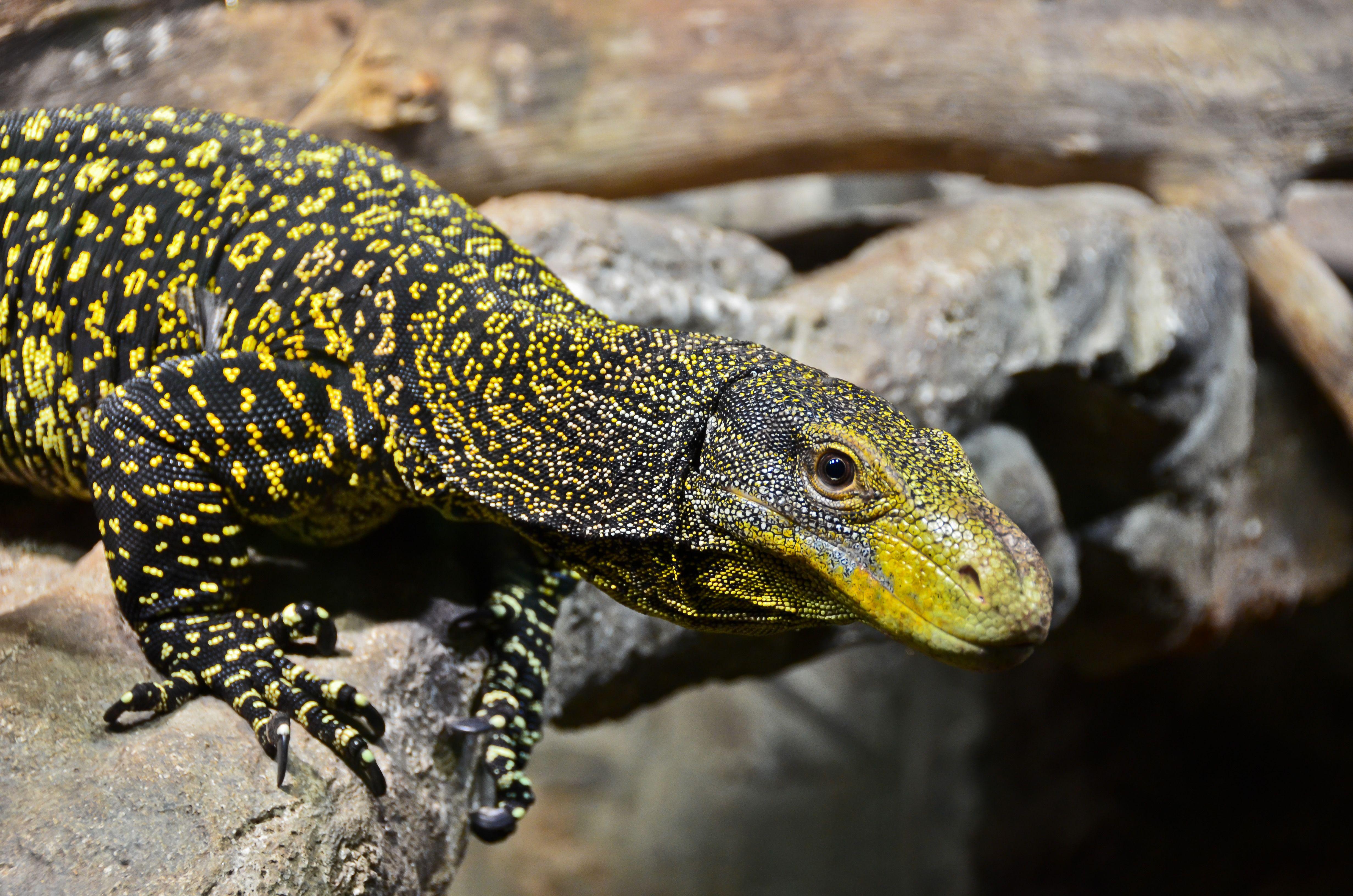 Crocodile Monitor | HD Lizard Wallpapers | Pinterest