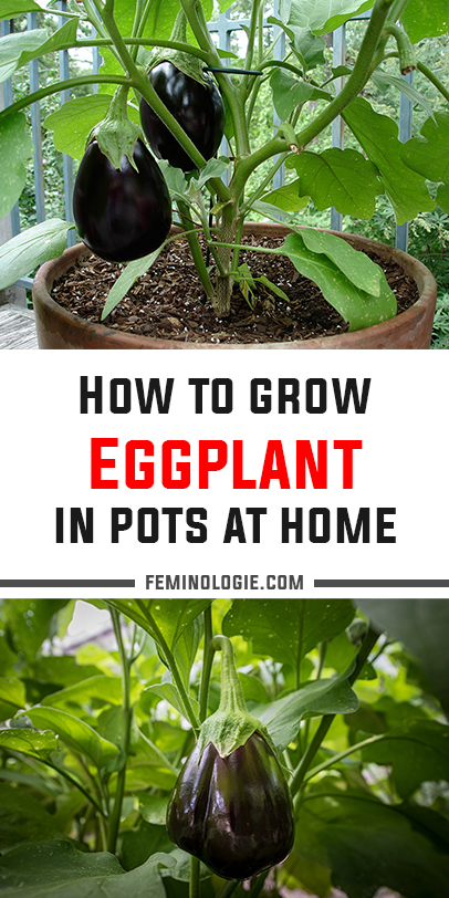 How To Grow Eggplant In Pots At Home In 2020 Eggplant Plant Growing Eggplant Container Gardening Vegetables