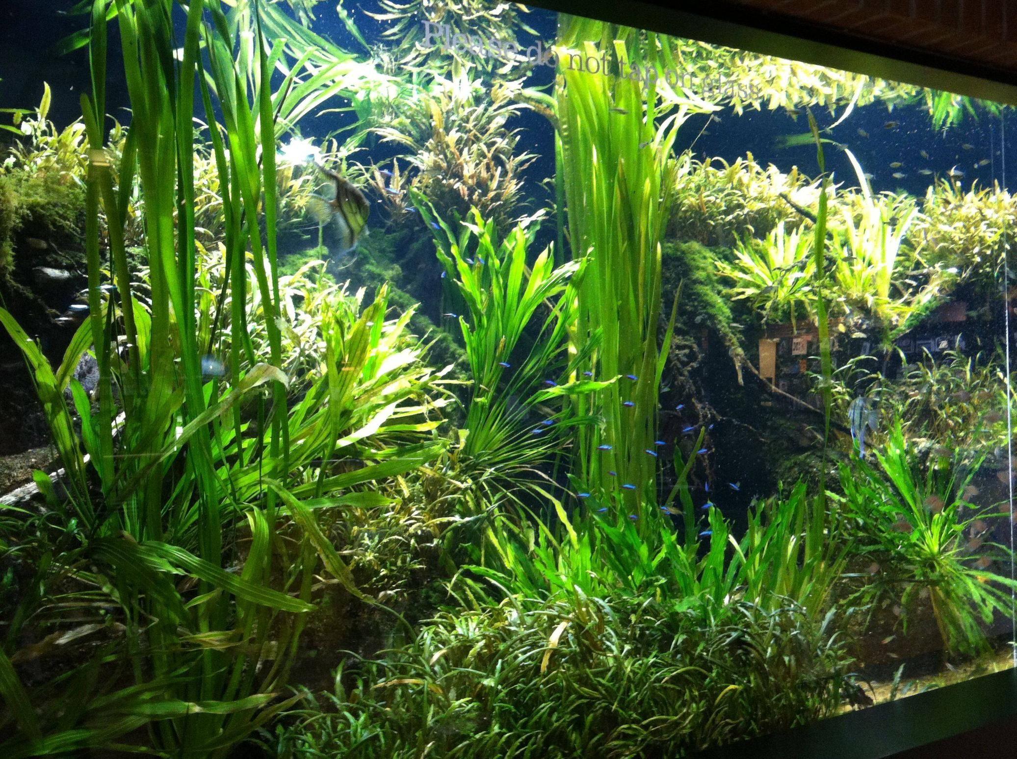 Amazon Planted Plants Planted Aquarium Live Plants