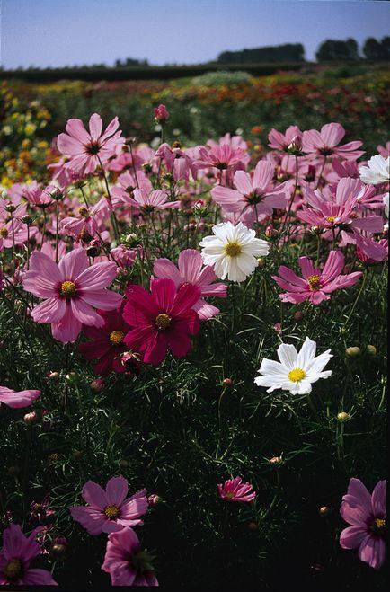 Dwarf Sensation Cosmos 100 Seeds 2 G 2 Feet Tall Cosmos Flowers Cosmos Beautiful Flowers