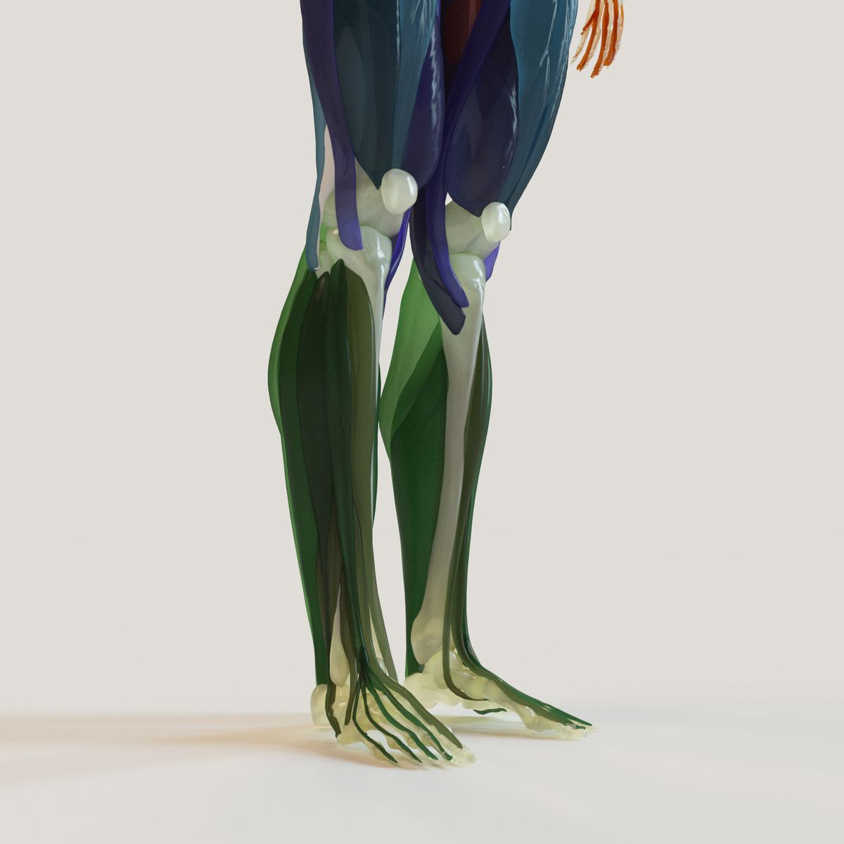 Muscles and skeleton. This royalty free 3D model or texture is ...