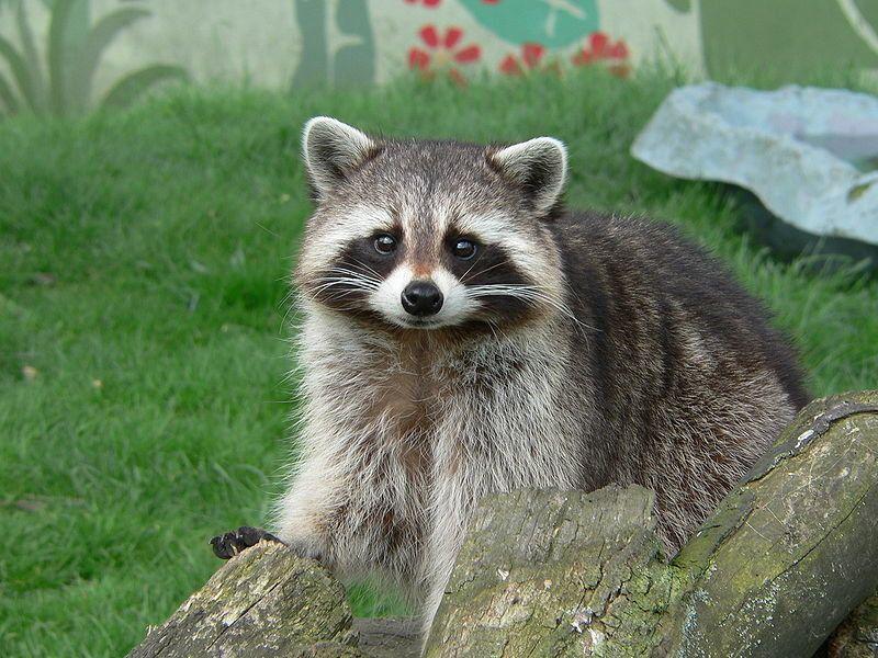 Raccoon Cute Raccoon Animal Facts Animals