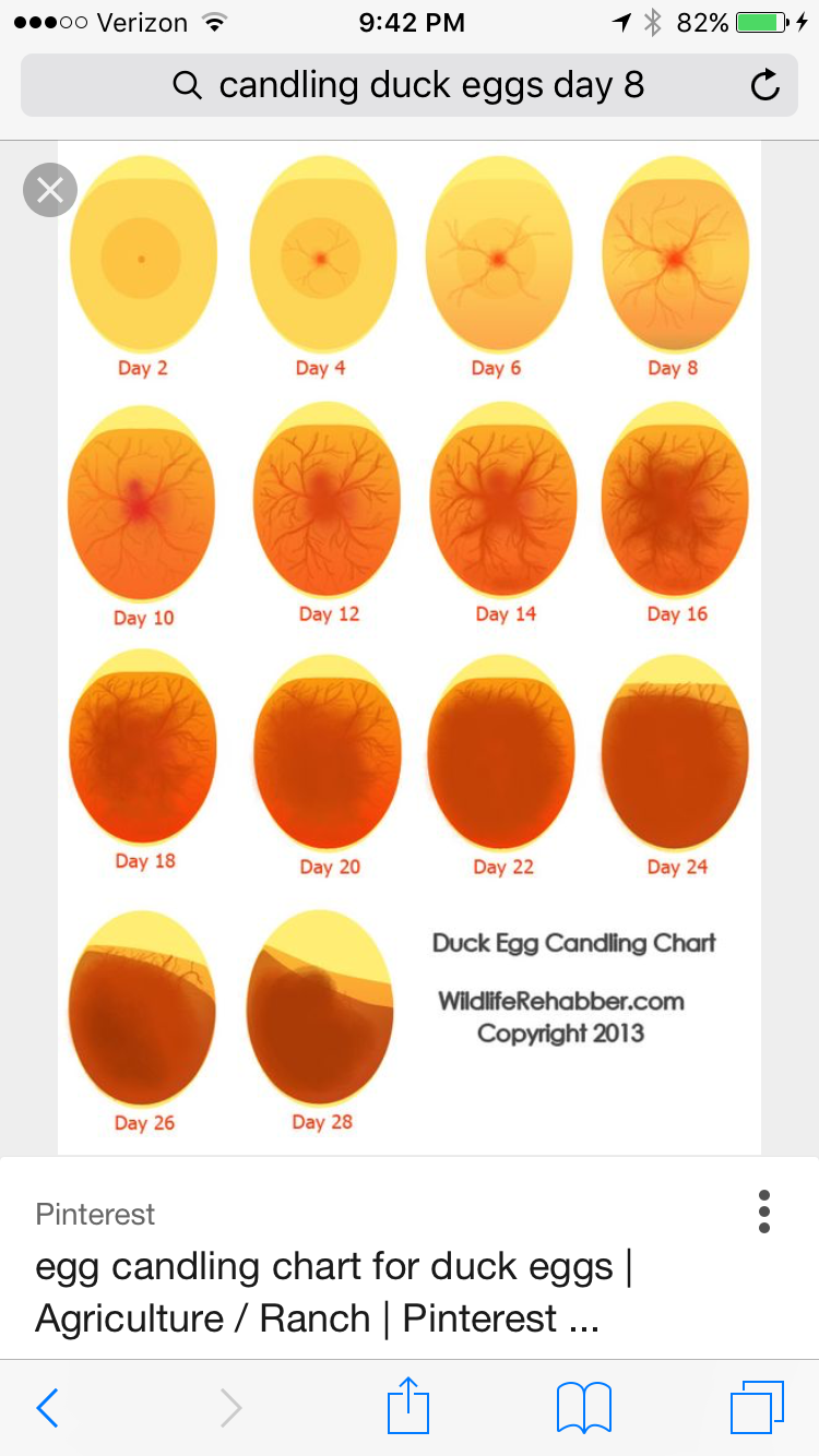 Using an Incubation Chart {Free Printable | Homestead ... |Chicken Hatching Chart