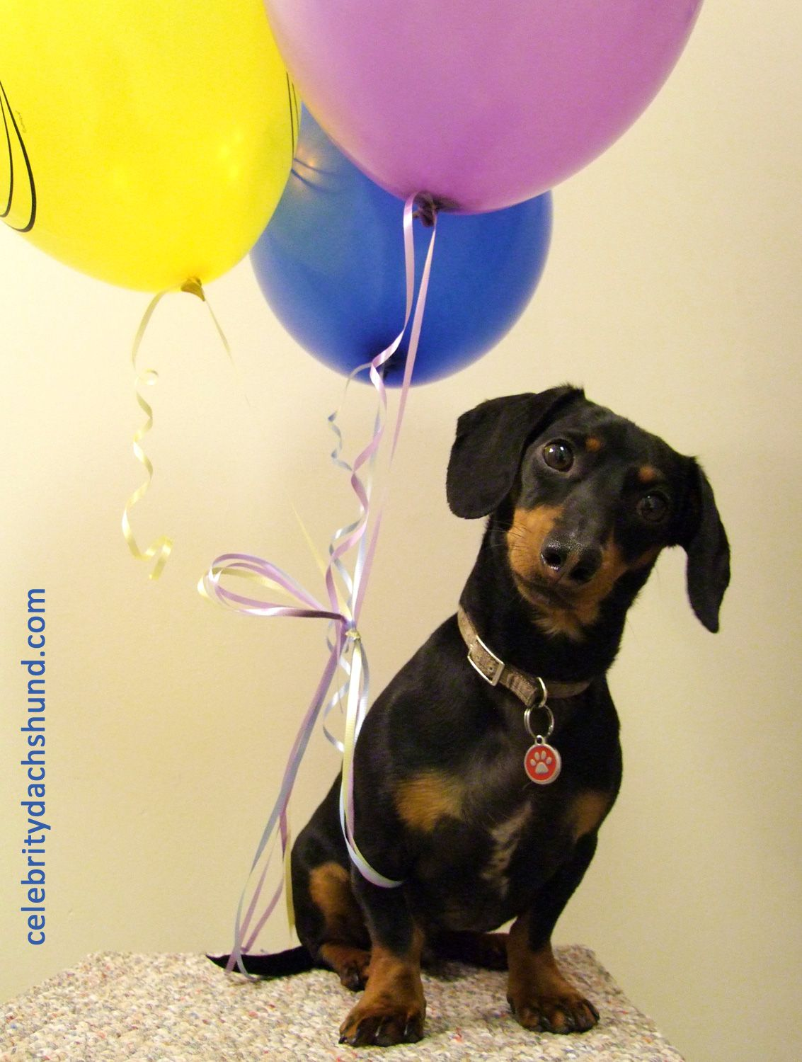 2405907e cute-dachshund-holding-balloons | Doxie Love | Crusoe the celebrity ...