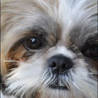 Emma Grace S Beautiful Face Shih Tzu Dog Shih Tzu Shih Tzu Puppy
