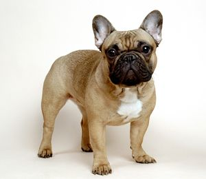 Ooh la la! The French Bulldog is our breed of the month. Check it out!  http://www.nylabone.com/dog-101/dog-breeds/french-bulldog/  #frenchbulldog #dogbreed #dogs
