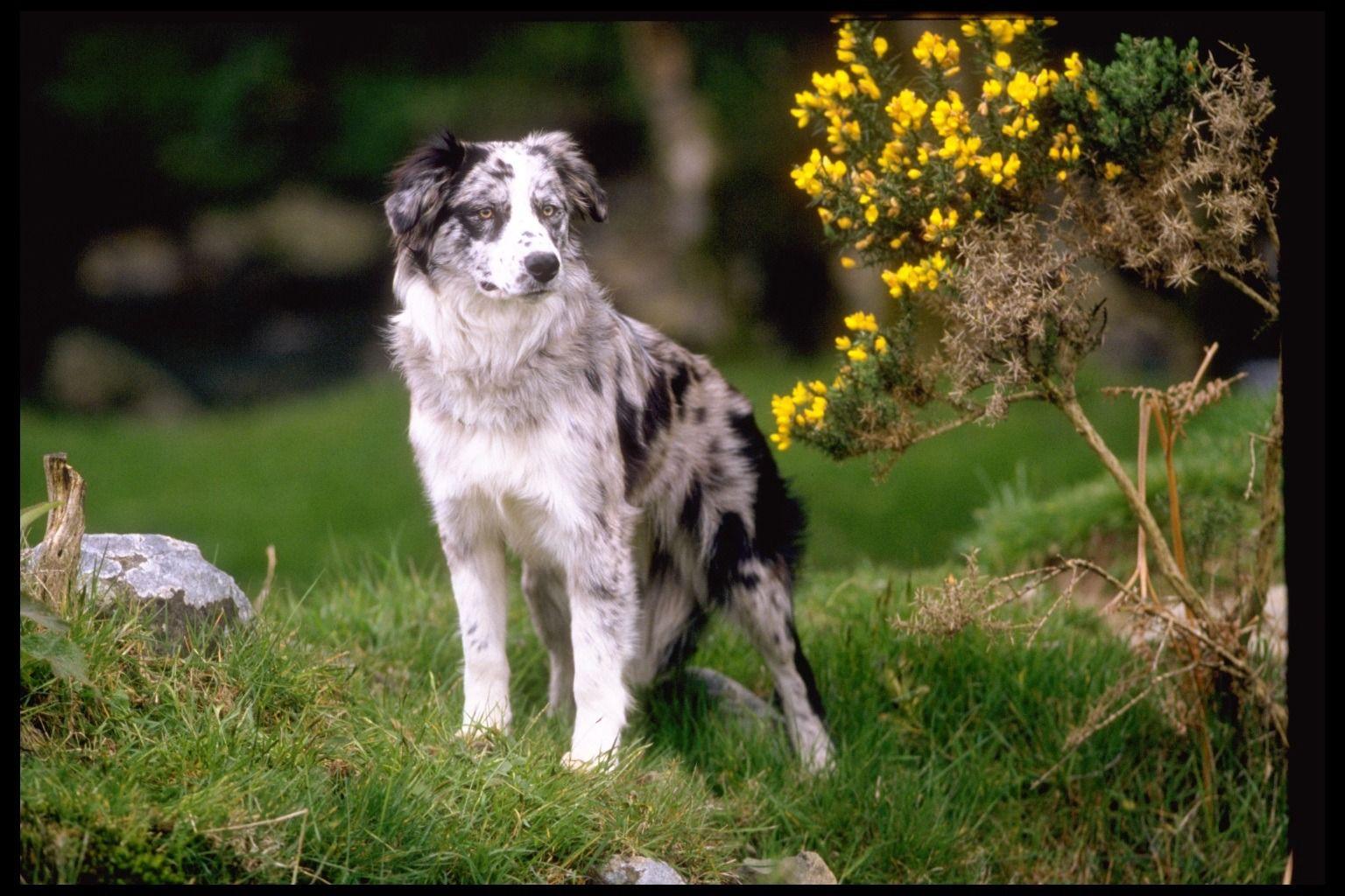 Border Collie Border collie, Collie dog, Border collie dog