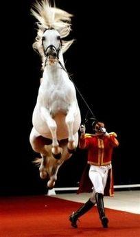 Lipizzaner stallion - these horses are amazing
