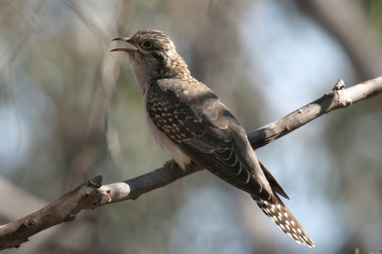 40 x bird facts u0026 sound files really cool pallid cuckoo