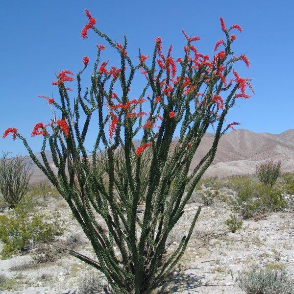 Ocotillo S Unique Branching Habit Lends An Artistic Sculptural Quality To The Landscape Descripti Desert Plants Landscaping Desert Landscaping Ocotillo Plant