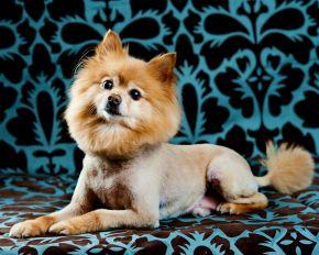 www.photographybytanya.com  Cute pomeranian with a lions haircut.