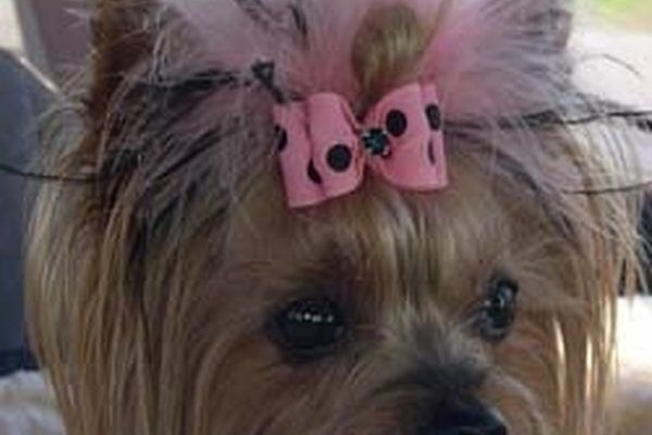 How To Give A Yorkie A Top Knot Ehow My Yorkie Pinterest