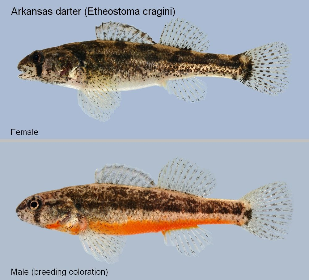 The arkansas darter etheostoma cragini is a species of for Types of small fish