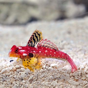 ruby red scooter dragonet male reef safe fish saltwater aquarium