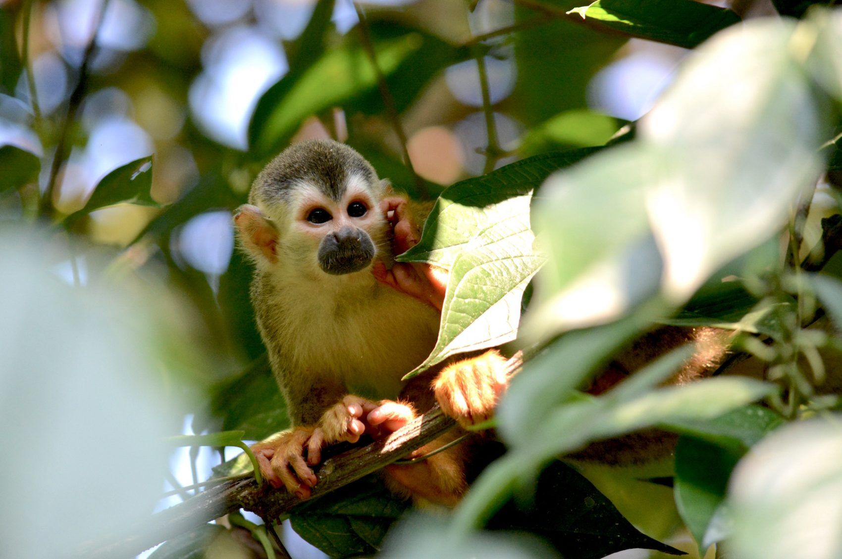facts about squirrel monkeys in the amazon rainforest