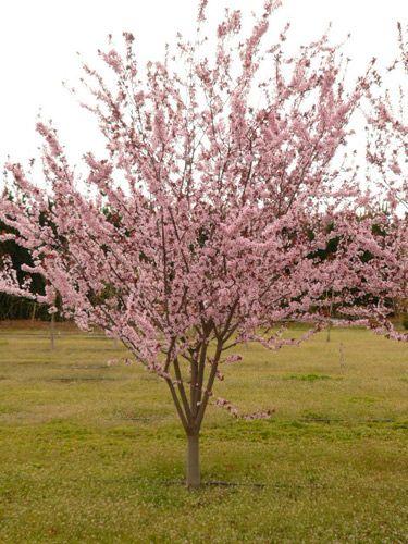 Common Name Purple Leaf Flowering Plum Scientific Name Prunus