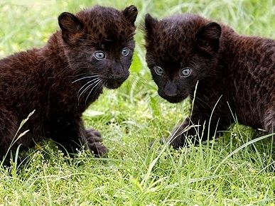 Pin By Lynda Norvitch On Animal Photos Baby Black Panther Baby Panther Cute Animals
