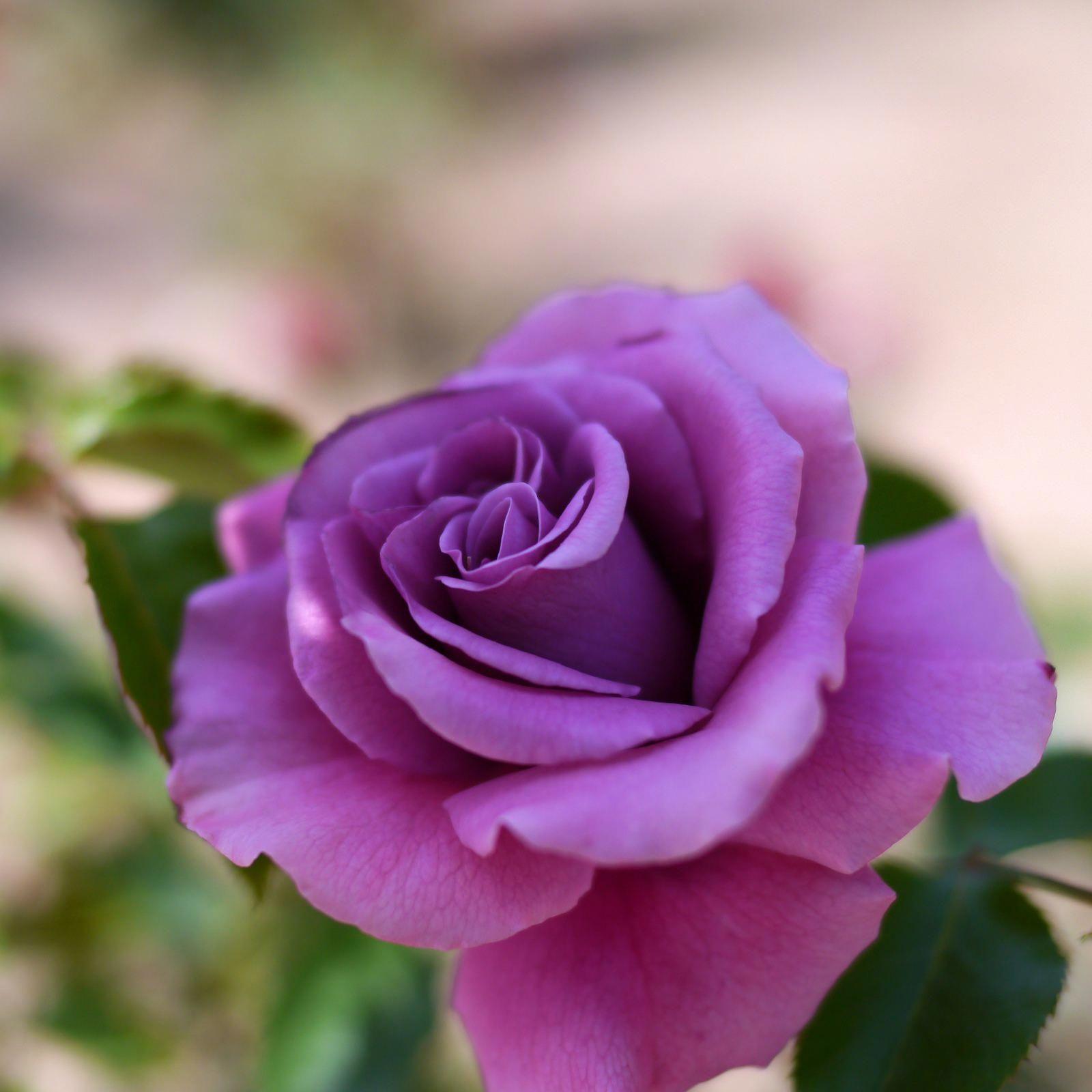 прибор другом фото сирийской сиреневые розы цветущей книге