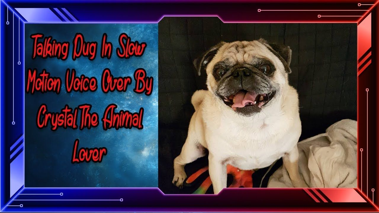 Talking Pug In Slow Motion A Voice Over By Crystal The Animal