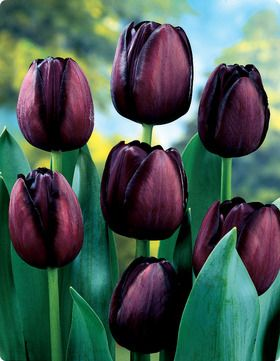 Tulipa 'Queen Of Night'. Flowers early May. To be planted with T. 'Shirley' and T. 'Atlantis'