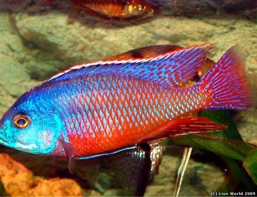 Protomelas Taeniolatus Red Empress Cichlid Protomelas Taeniolatus Boadzulu Red Aquarium Fish Cichlids African Cichlids