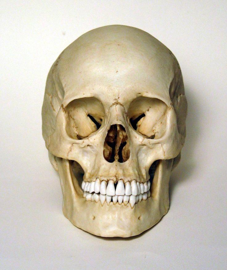 Veryshareimg Human Skulls Front Skull Bones Pinterest