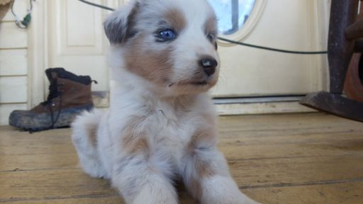 Golden Retriever Goldendoodle And Mini Goldendoodle Puppies For Sale In South Carolina Usa Australian Shepherd Aussie Puppies Australian Shepherd Breeders