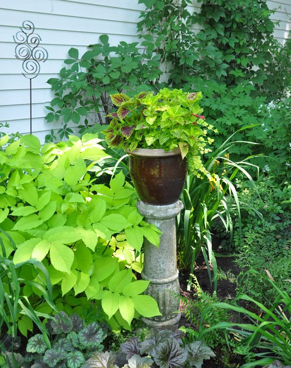 Aralia Cordata Sun King Is On The Left Of Plant Stand