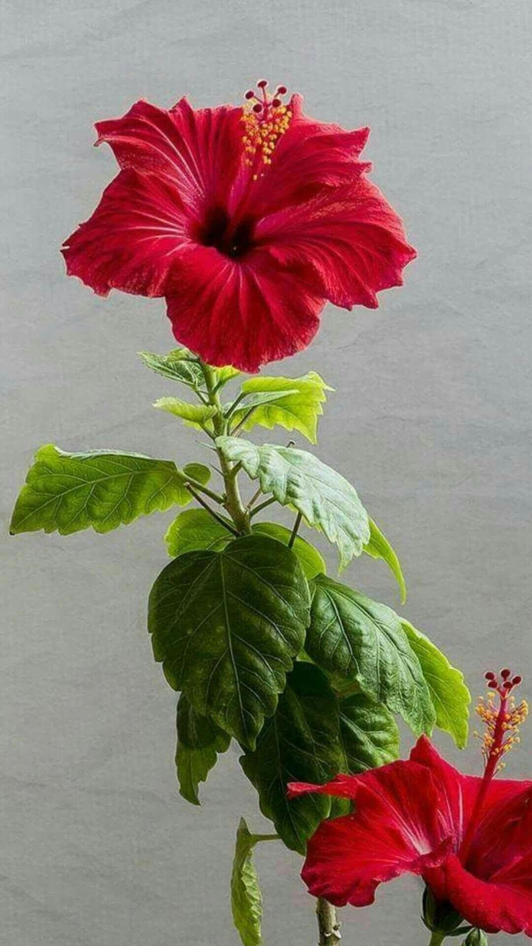 Hibiscus Flores Increibles Flores Bonitas Flores Exoticas