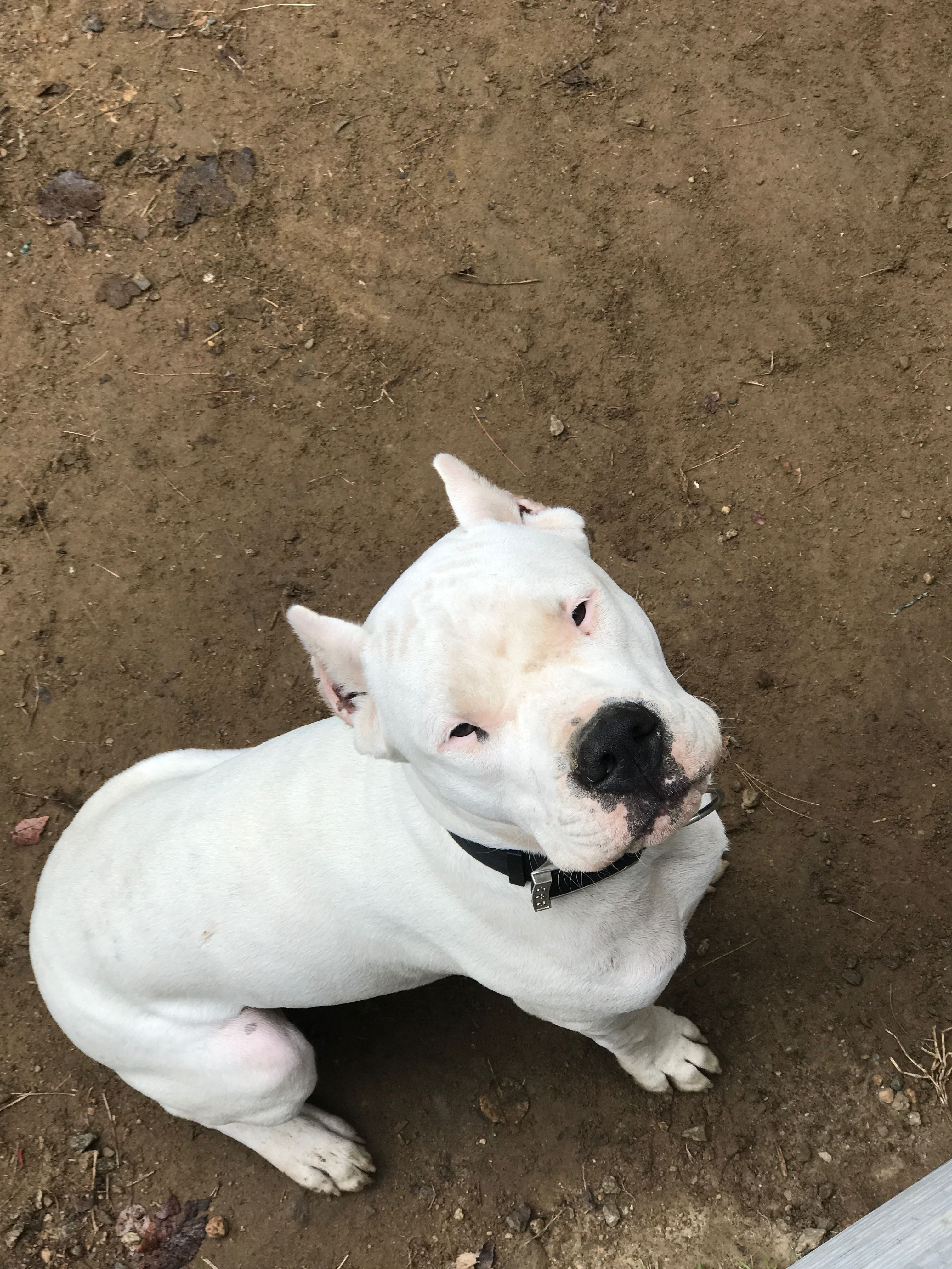 Pin By Daisy On Dogo Argentino Dog Argentino Pitbull Dog Working Dogs