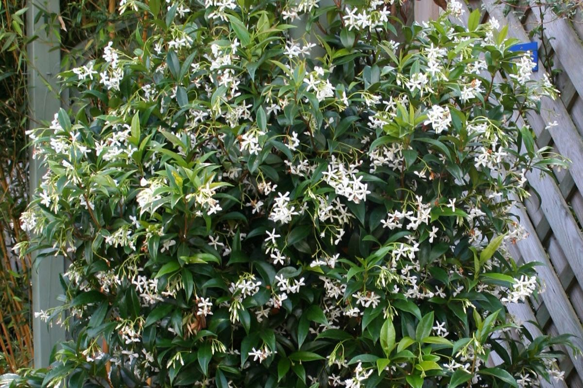 trachelospermum jasminoides star jasmine confederate jasmine vine or groundcover fragrant. Black Bedroom Furniture Sets. Home Design Ideas