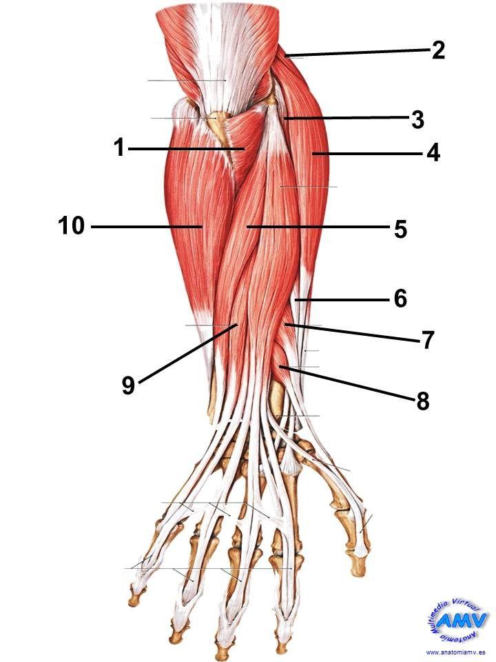 musculos_14 | anato | Pinterest | Músculos, Dorsales y Planos