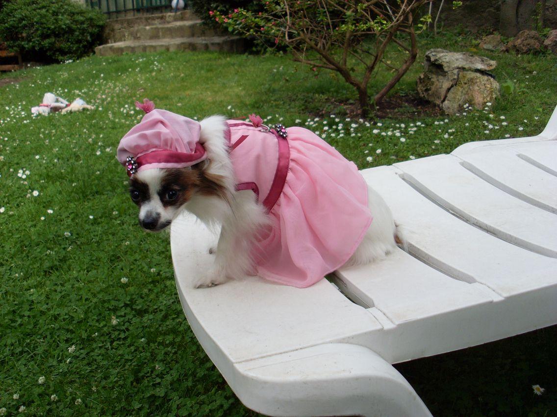 Épagneul papillon nain. Titi Small dog cute puppy Chien