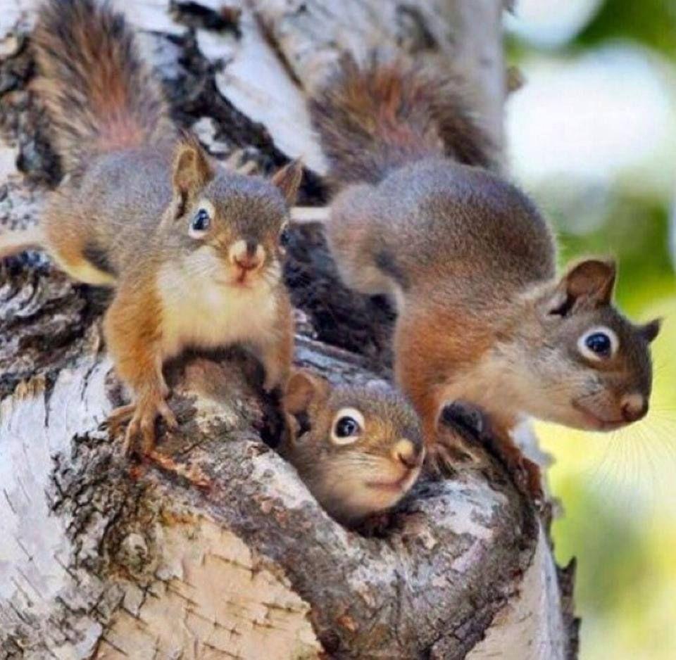 Orava Poikaset