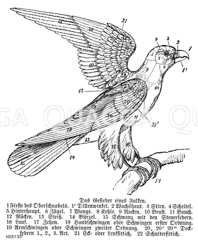 Tolle Vogel Lunge Anatomie Zeitgenössisch - Anatomie Ideen - finotti ...