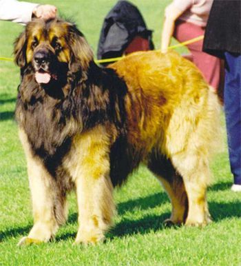 Rare Dog Breeds | Rare Dog Breed: Leonberger, Leonberger Breeders, Leonberger puppies