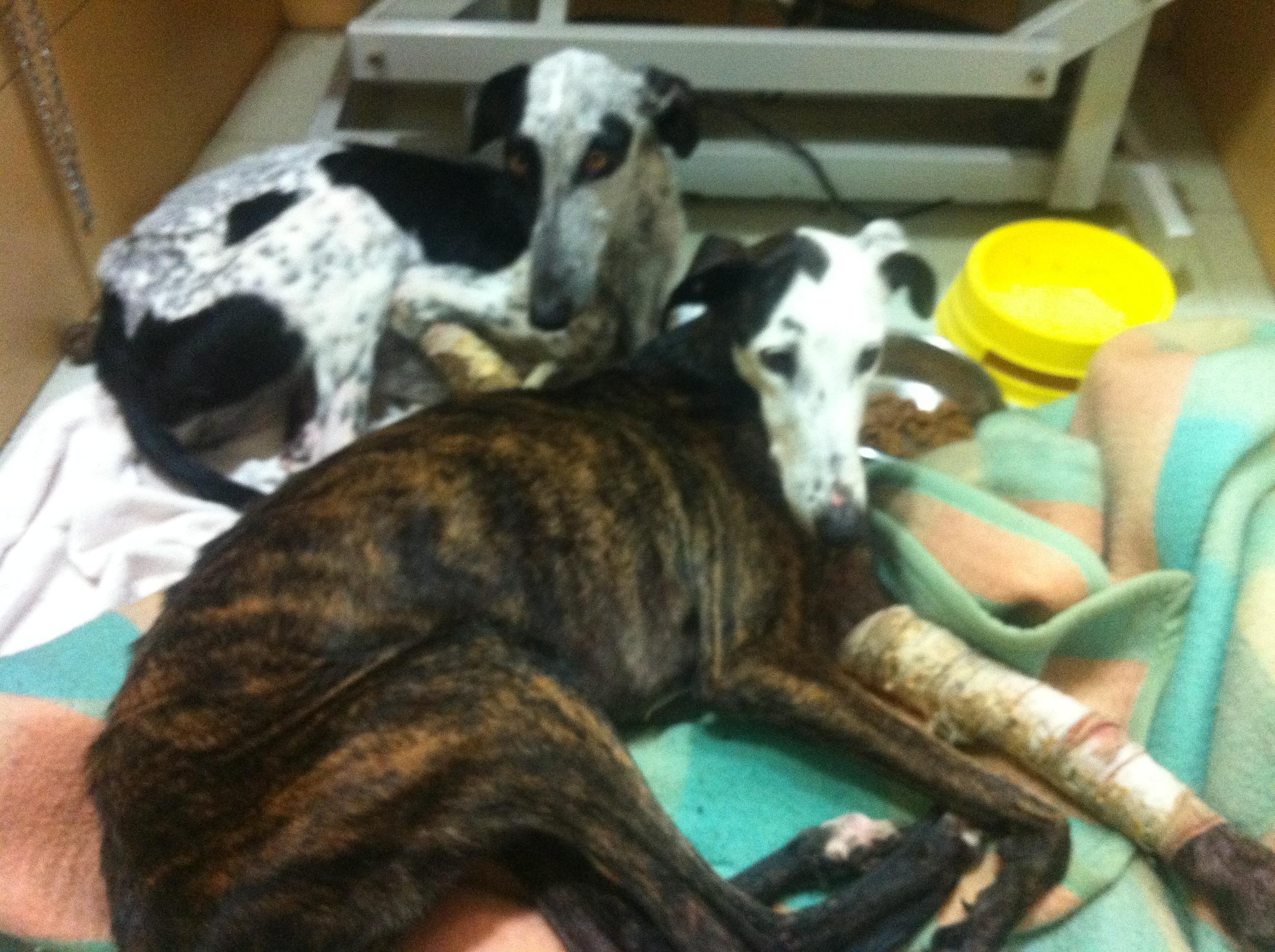 Currita y Azucena, galgas greyhounds resctadas en Toledo.