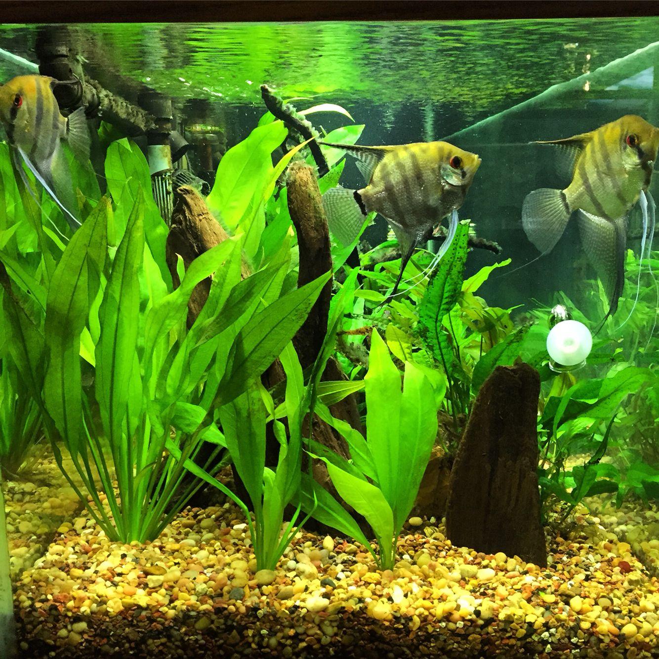 Silver Angelfish | Angel fish, Fish, Aquarium