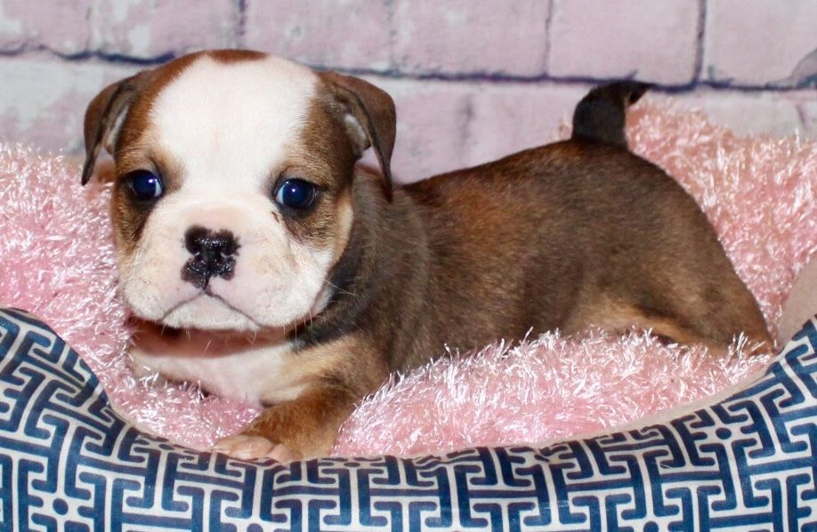Cher Is A Red Female English Bulldog Puppy American Born And