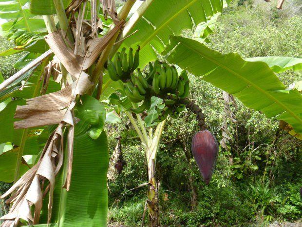 Banany to biologicznie rzecz biorąc, jagody. Wydłużone, z twardymi nasionami. Choć najpopularniejsza odmiana, Cavendish, jest bezpłodna i nasion praktycznie nie wytwarza.