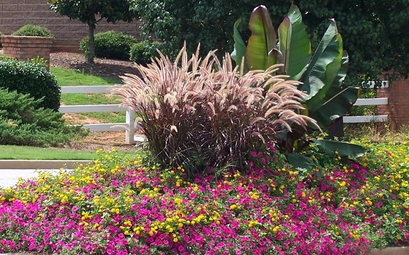 Purple fountain grass yellow lantana and pink petunia for Purple grasses for landscaping