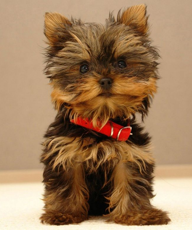 Cutest Small Dog Breeds That Don T Shed Puppies Yorkshire