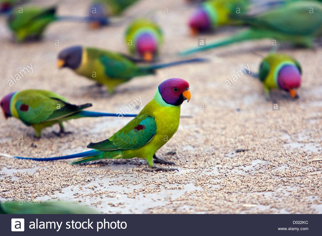 Indian plum headed parrot or parakeets feeding Rajasthan