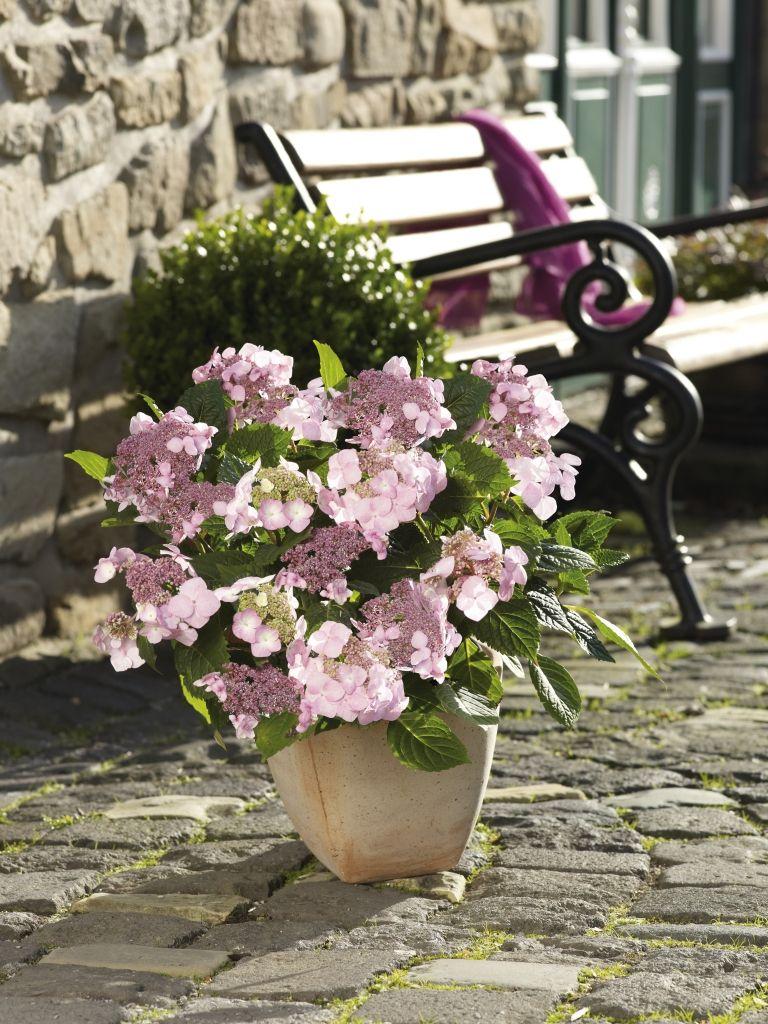 """Schon gewusst? Hortensie heißt soviel wie """"zum Garten gehörig"""". Ein guter Grund also, sie in euren zu setzen. Übrigens, die Blütenfarbe der Hortensie hängt nicht selten vom pH-Wert eures Bodens ab."""