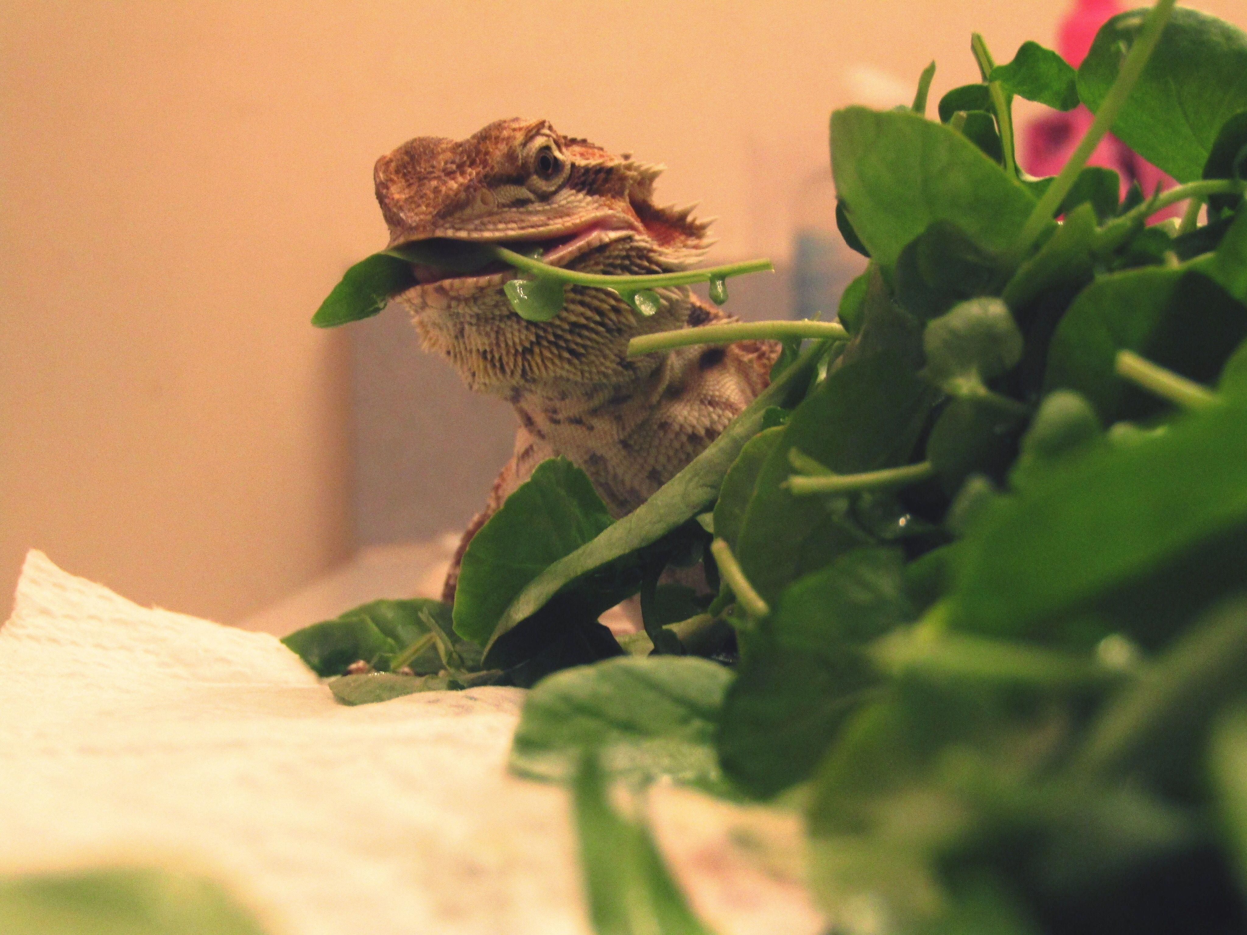 Bearded dragons need leafy greens daily as part of a